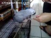 African Gray Parrots en venta