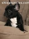 Bulldog francés disponible