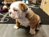 Bulldog Inglés cachorros de pedigrí comp