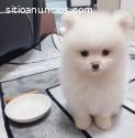 Cachorro Pomerania macho y hembra