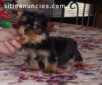 Cachorros de Yorkies Terrier para adopci