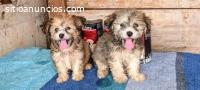 Cachorros maltese
