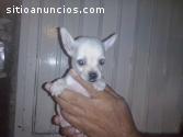 chihuahueño de bolsillo
