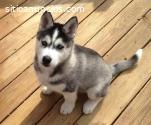 Regalo oferta 4 cachorros Husky seberian