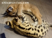 Serval, Caracal & Sabana y gatitos en ve