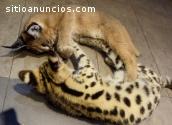 Serval, Caracal & Sabana y gatitos en ve