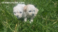 Cachorros French Poodle Minitoy Puebla