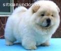 Chow chow lindos cachorros de criadero