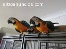 Papagayos, GUACAMAYOS, 8.5 meses