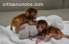 Monos hermosos del bebé del aumento del