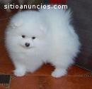 Tenemos un cachorro de Pomerania macho y