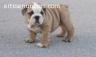 LINDOS cachorros Bulldog Inglés para su