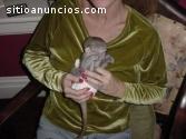Mono de Capuchin Femenino Lindo del Bebé