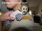 mono y chimpancé para la venta