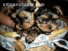 Regalo cachorros toy , de yorkshire terr