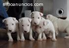 Bull terrier miniatura cachorros