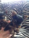 Toy Yorkshire Terriers cachorros