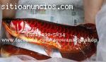 Genuinos Peces Arowana para acuarios