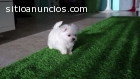 Adorables cachorros malteses pendientes