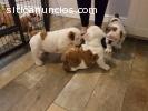 Cachorros de bulldog inglés macho y hemb