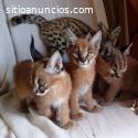 gatitos serval, sabana y caracal