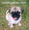 Lindos Cachorritos Pug Carlino
