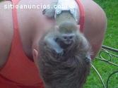 monos tití