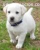 Regalo cachorro de Labrador para una fam