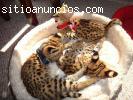 Gatinhos serval e Savannah F1 surpreend