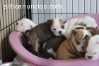 Bulldog Inglês Puppies presente várias c