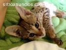 Serval exótico e gatinhos de  F1 sabana.