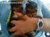 cachorrinhos Yorkshire Terrier! mini toy