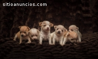 Excelente Chihuahua machos e fêmeas.
