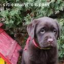 Labrador Retriever puros de excelente q