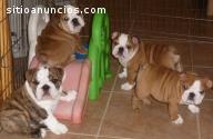 Cachorros de bulldog inglés (GRATIS) !!!