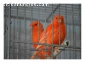 Canarios Directo Del Criador - Anillados