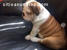 Dos Hermosos cachorros Bulldog ingles