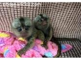 Monos tití para su aprobación