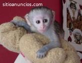 Regalo Sano Monos Capuchinos