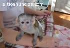 Mono capuchino para Adopción,