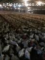Granja para la produccion de pollos de e